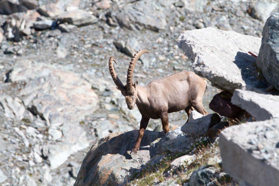 Steinbock-Zermatt-EthanStone-7281